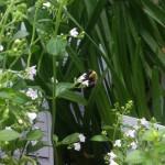 Bee in Lurie Garden 9-13-2012