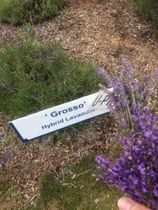 Grosso Hybrid Lavandin, Lavender Hill Farm