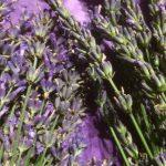Grosso (R) vs. Loddon Blue English Lavender (L)