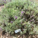 Imperial Gem English Lavender, Lavender Hill Farm