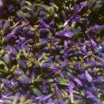 Loddon Blue English Lavender