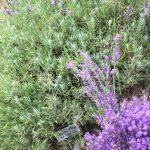 Loddon Blue English Lavender, Lavender Hill Farm