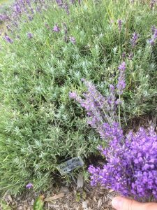 Loddon Blue English Lavender, Lavender Hill Farm