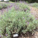 Royal Velvet English Lavender, Lavender Hill Farm