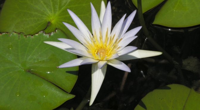35: The Lotus as a Narcotic or Aphrodisiac